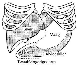 Anatomische weergaven van de ligging van de alvleesklier ligt de alvleesklier tegen de maag