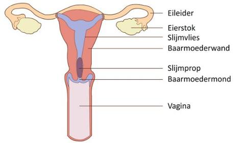 Verwijderen van de eileider of eierstok met de laparoscoop