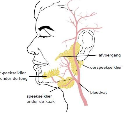 Anatomie van de grote speekselklieren. Dit zijn de onderkaakspeekselklier, oorspeekselklier en ondertongspeekselklier