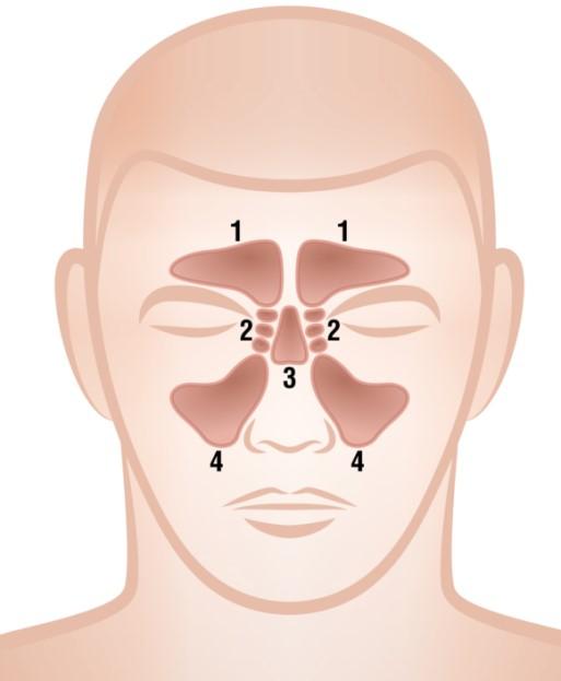 Tekening van de neusbijholten