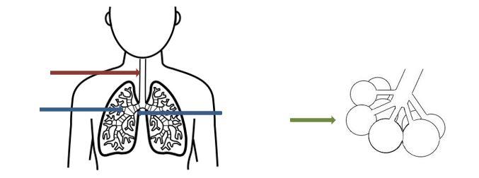 Tekening van de longen