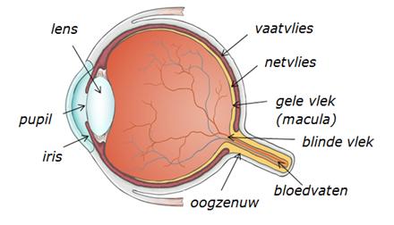 dwarsdoorsnede van een oog