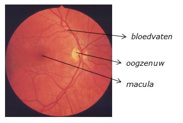 netvlies van een gezond oog