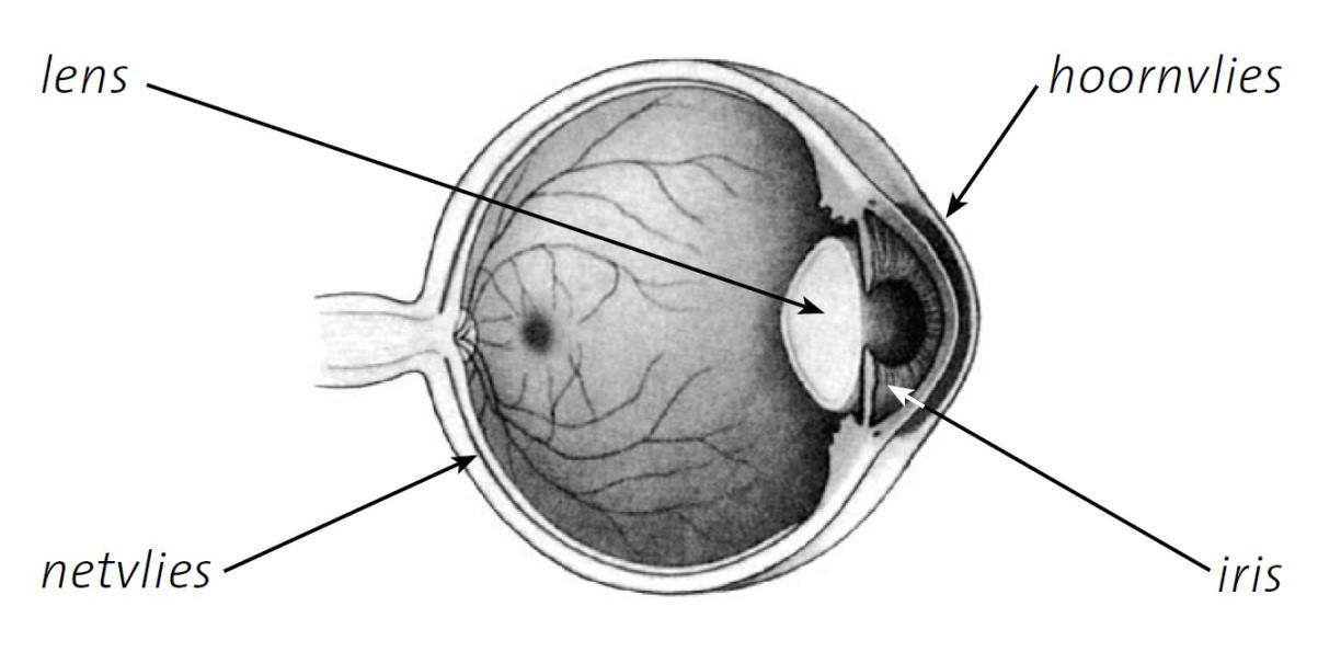 Het oog met lens, hoornvlies, iris en netvlies aangewezen.