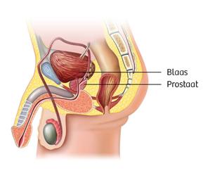 Locatie van de prostaat
